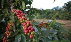 INDICADORES: Preços do café e do milho em alta. Açúcar em queda, nesta segunda-feira (13)